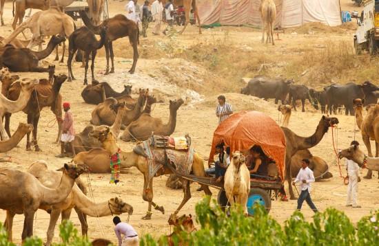 Nagaur Festival