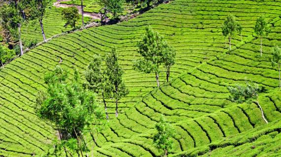 tea-garden-munnar