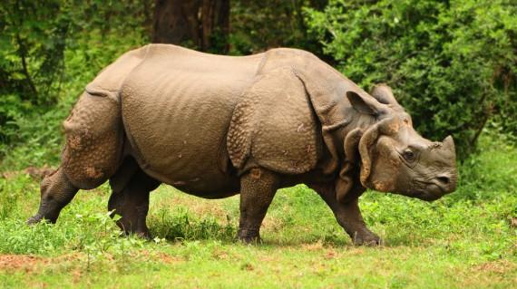 rhinoceros-at-kaziranga-national-park