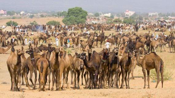 pushkar-festival